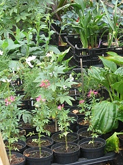 Piecemeal Plants nursery