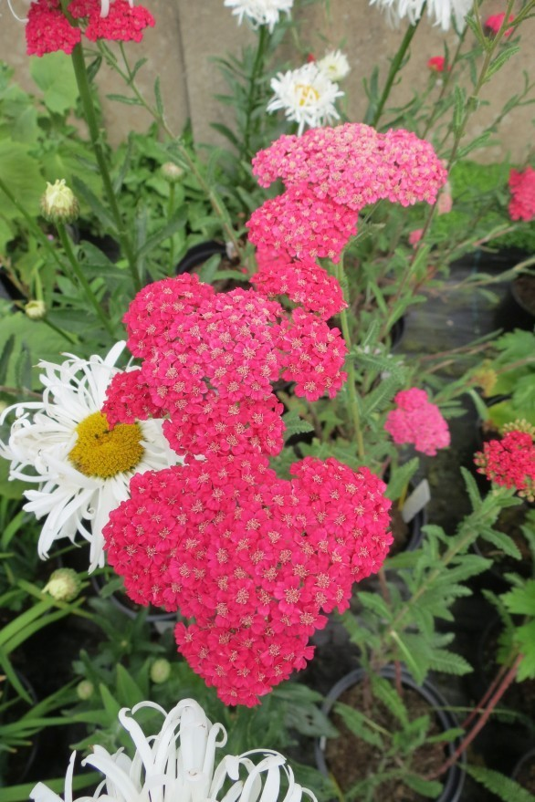 Achillea Rose Madder