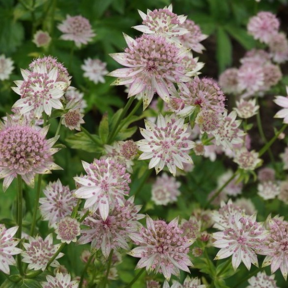 Astrantia 'Warren Hills'