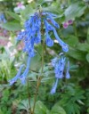 Corydalis Tory MP